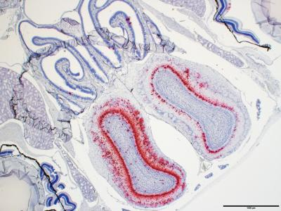 Army Scientists Establish First Lethal Mouse Model for COVID-19