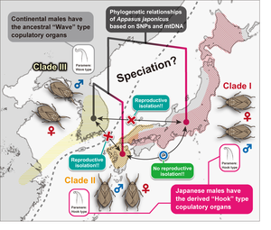Phylogenetic relationships of Appasus japonicus