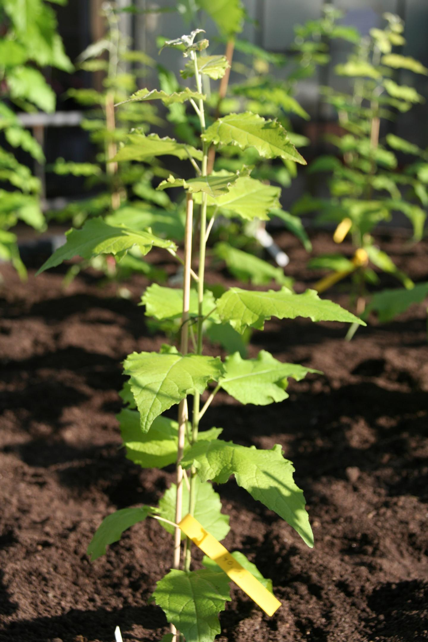 EU Decision Process Hinders Use of Genetically Modified Trees