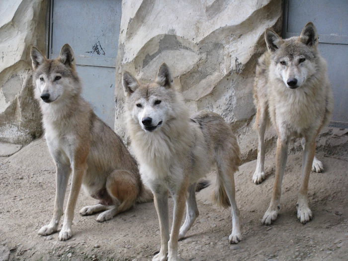 Tibetan Wolves