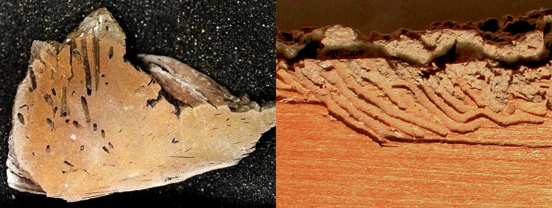 Apectoichnus lignummasticans Trace Fossil