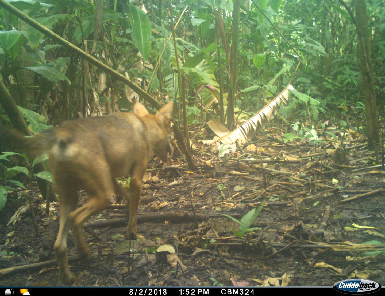 Coyote in Darien