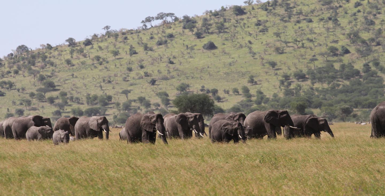 Herd of Serengeti elephants
