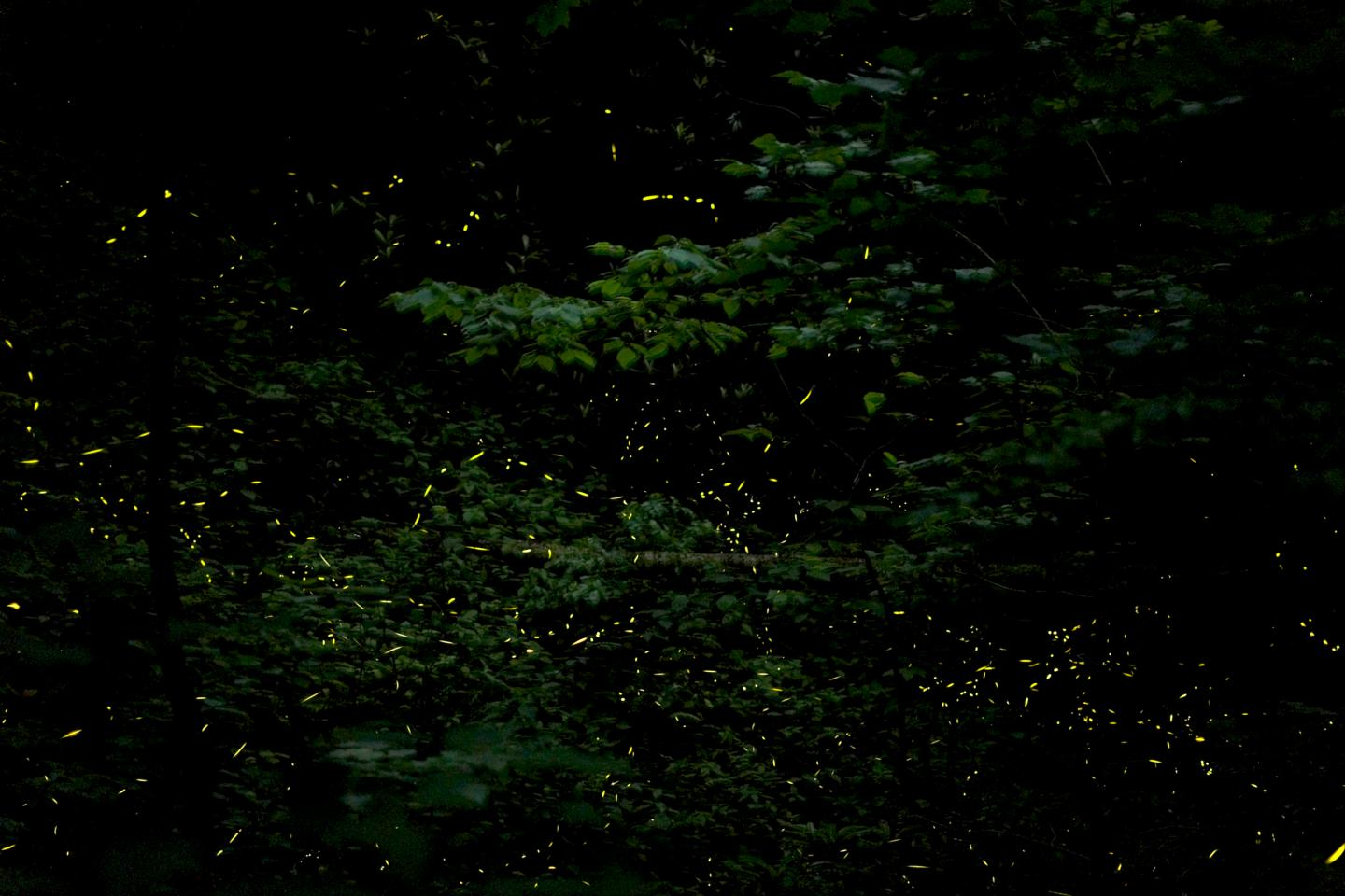Synchronous Fireflies 2