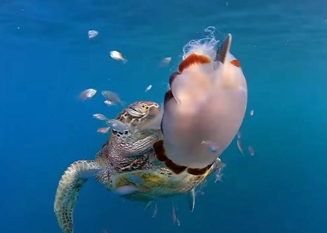 Green Turtle Swiping