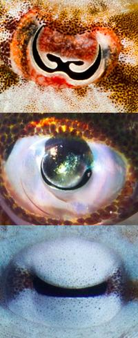 Cephalopod Eyes