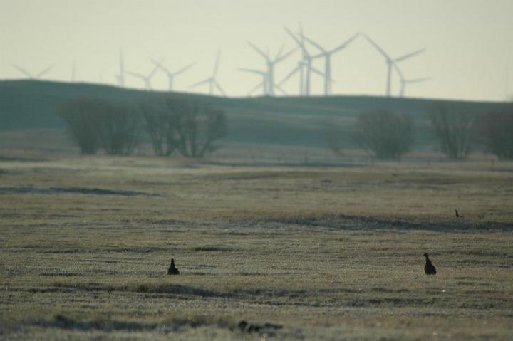 Prairie-Chickens and Wind Energy