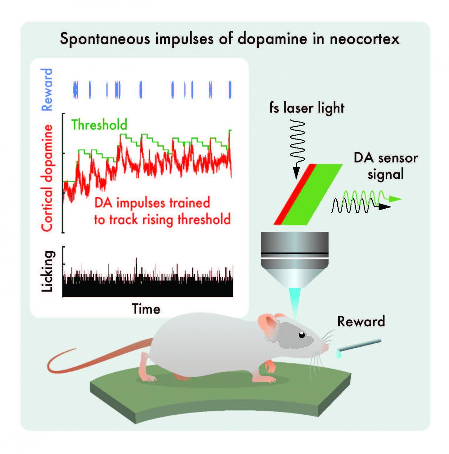 Spontaneous impulses of dopamine in neocortex