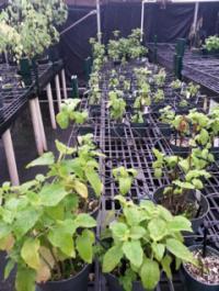 <i>P. kaalaensis</i> in Greenhouse