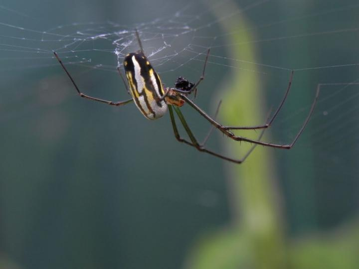 Baby orb weaver spiders can weave as complex webs as adults