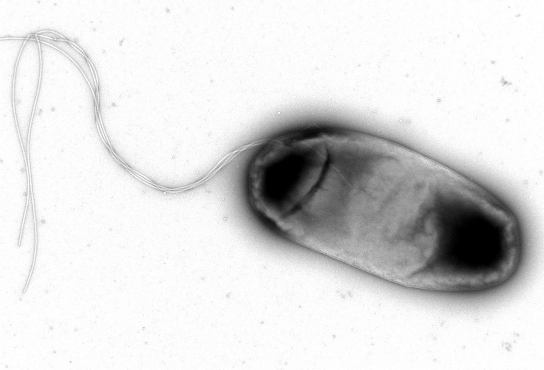 <i>E. coli</i> Bacterium