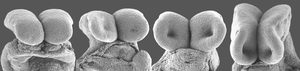 Mouse neural folds