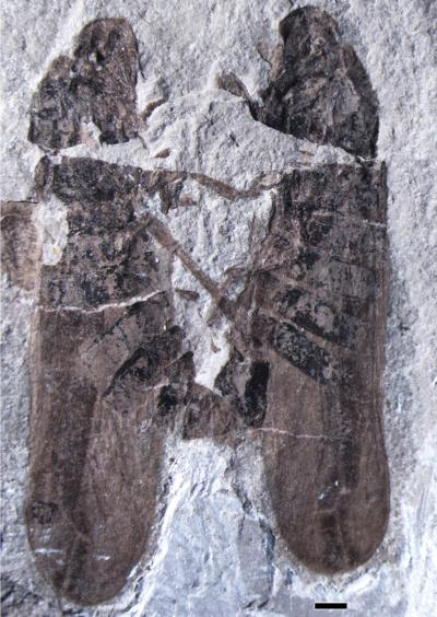 New Species <i>Anthoscytina perpetua</i>