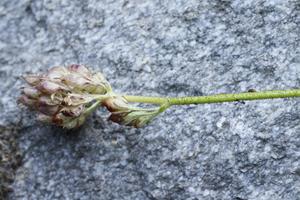 Fresh field specimen of Triantha occidentalis