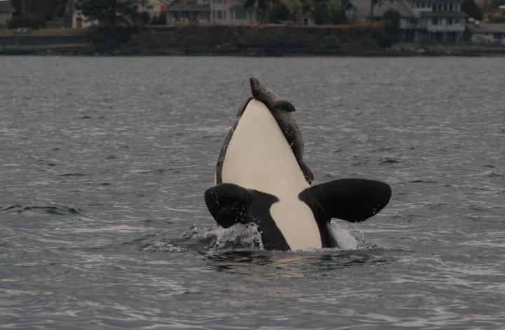 An adult Bigg's killer whale attacking a harbour seal