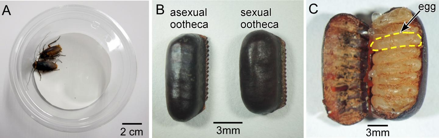 Female Cockroaches and Egg Cases