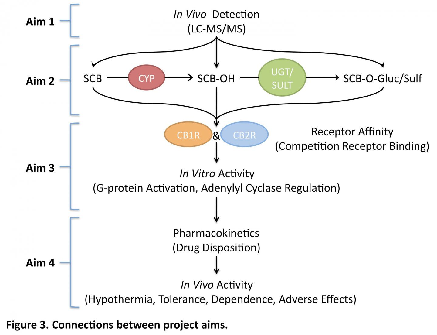 Metabolic Pathways for Synthetic Cannabinoids