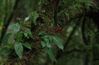 Epiphytic <i>Impatiens frithii</i> Grows on Smaller Trees