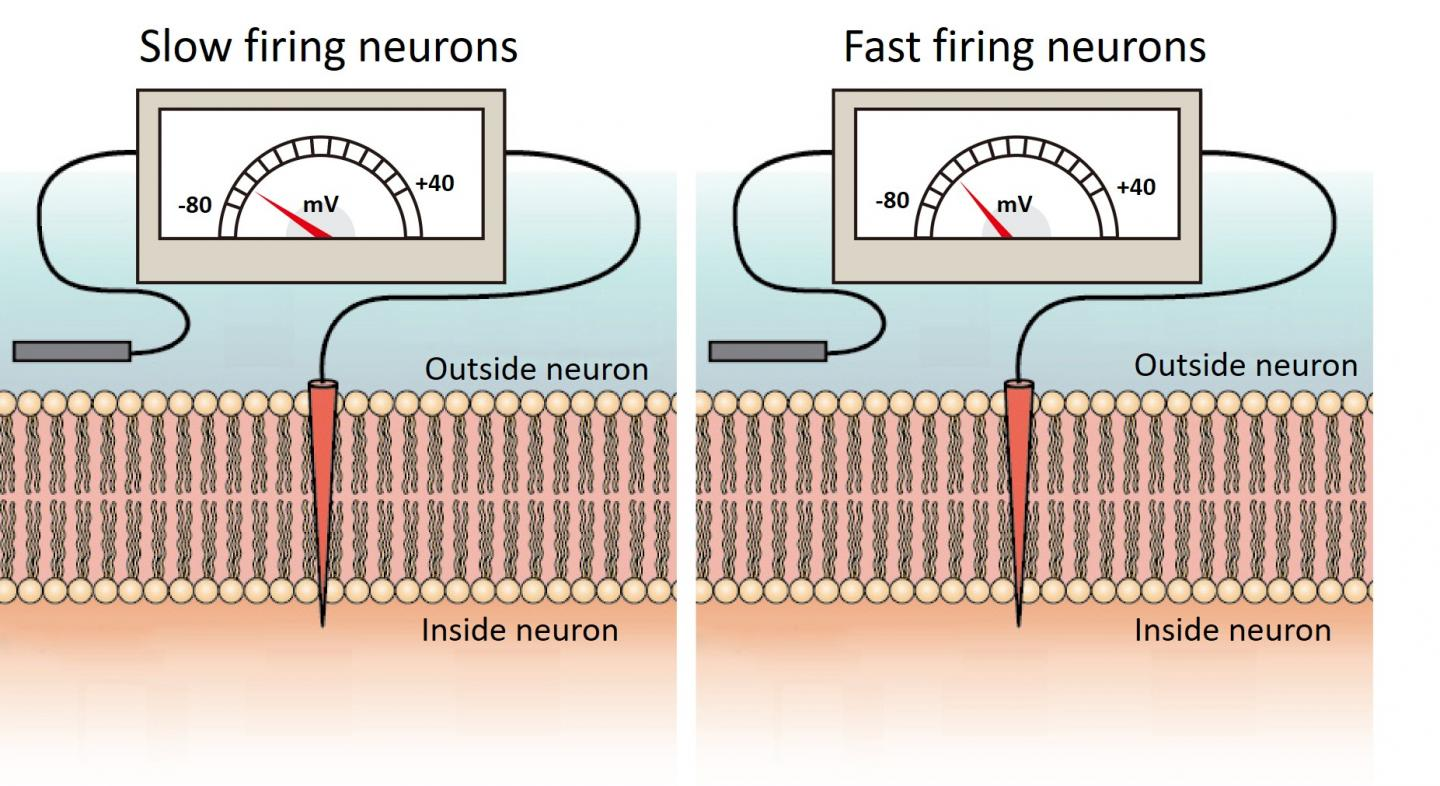 Membrane voltage in slow and fast firing Purkinje cells