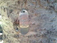 A tagged subalpine fir tree