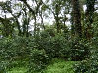 Plantation coffee system