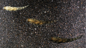 A goby changing colour