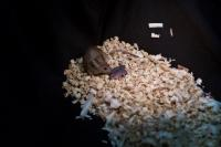 Bimaternal Mouse with Her Pups 2