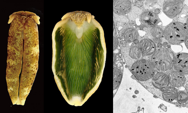 The photosynthetic sea slug, Plakobranchus ocellatus type black