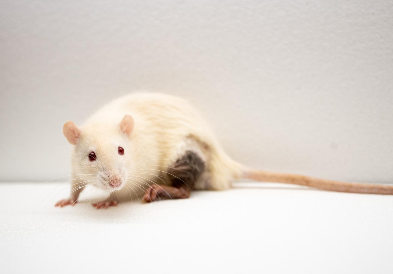 White Rat, Black Leg (3)