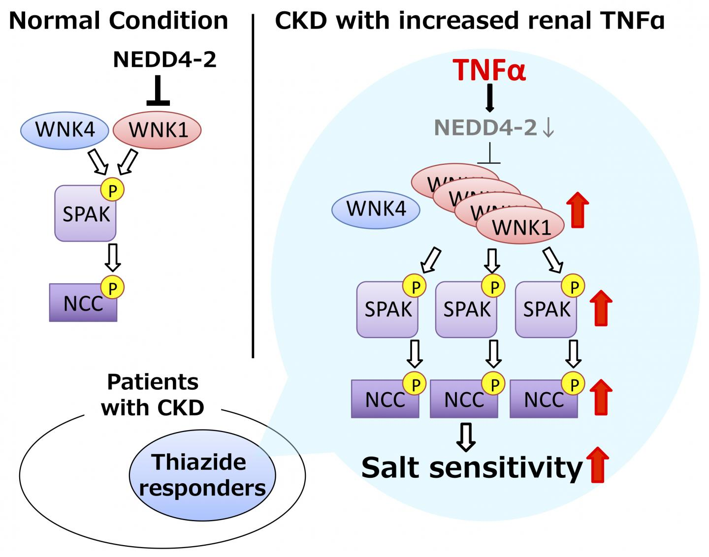 Schematic illustrating TNFα-induced WNK pathway activation and salt-sensitive hypertension in chronic kidney disease (CKD)