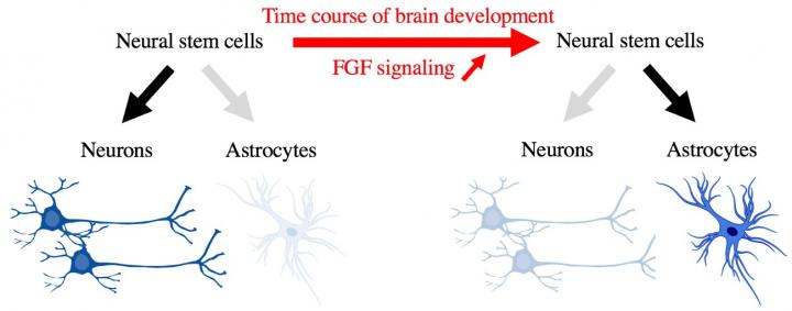 Figure 1: Differentiation of Neural Stem Cells into Neurons and Astrocytes during the Process of Bra