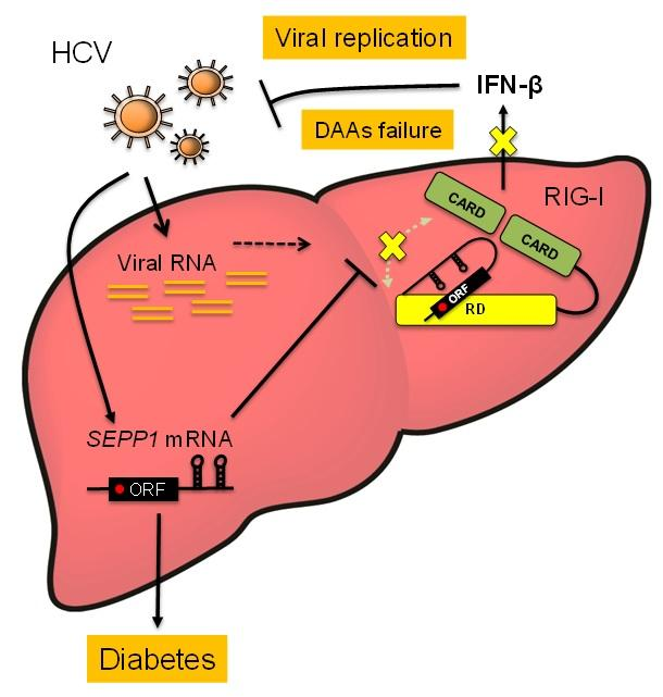 Regulation Mechanism of Innate Immunity by SeP mRNA Induced by HCV Infection