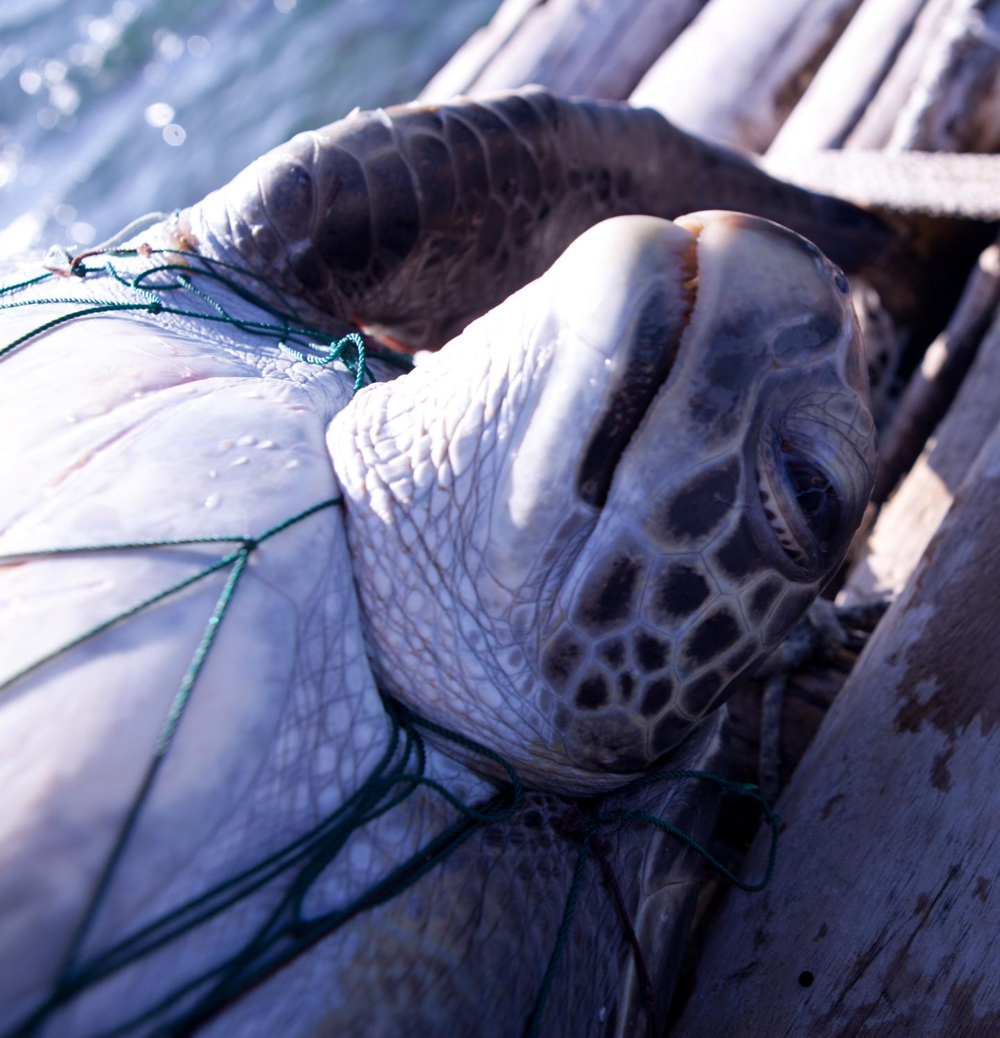 Sea Turtles Bycatch