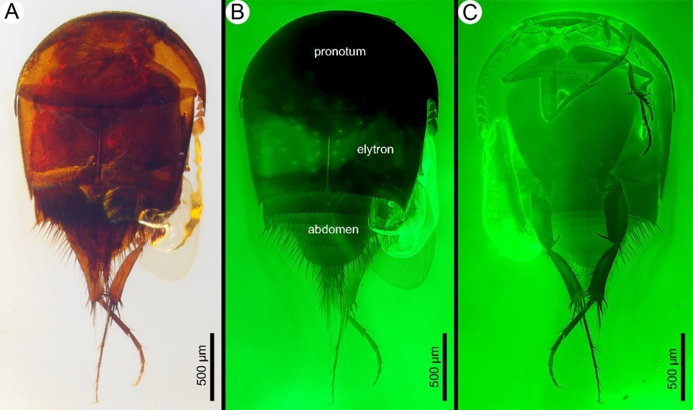 <I>Cretotrichopsenius burmiticus</I>