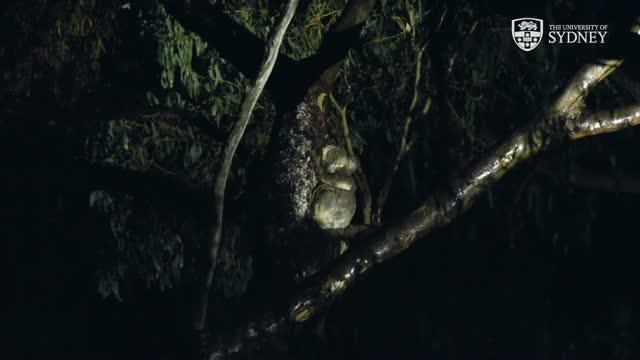 Koala Drinking Behavior