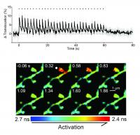 Structural Plasticity Induces Robust, Compartmentalized and Rapid PKCα Activity