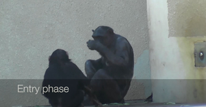 Chimps entering a grooming interaction