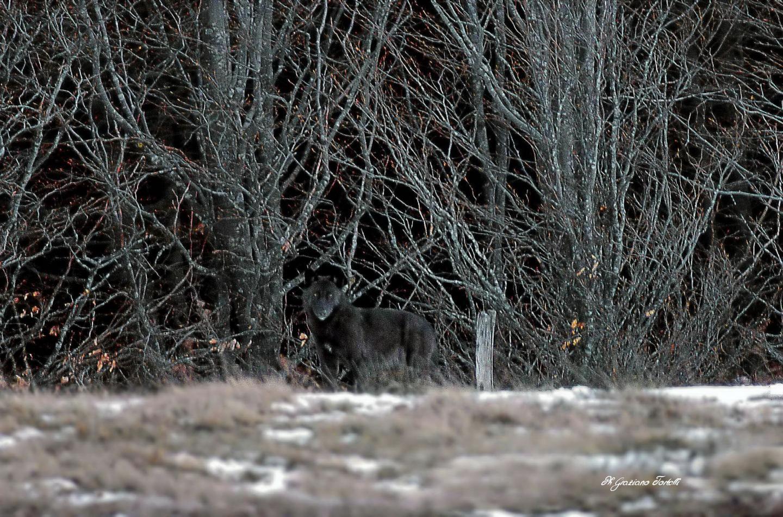 Black Italian Wolf