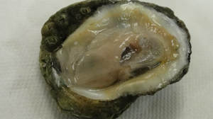 Eastern oyster from the Gulf Coast