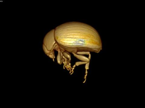 One-Week-Old Colorado Potato Beetle Live Scan