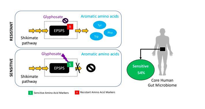 Glyphosate and the shikimate pathway