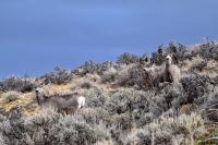 Mule Deer in Sagebrush