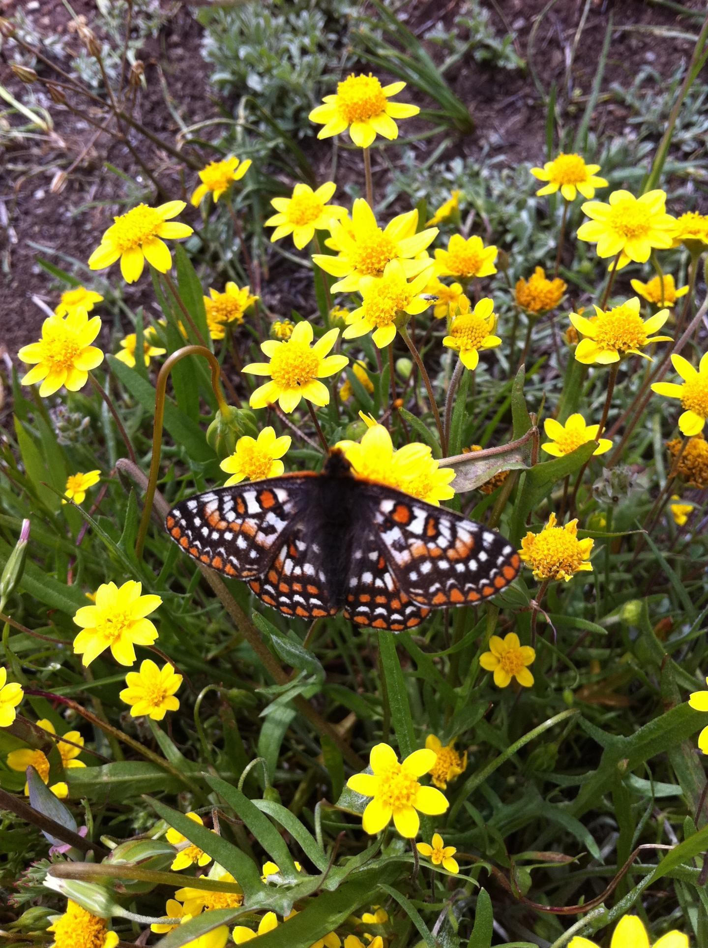 Goldfields and Butterfly