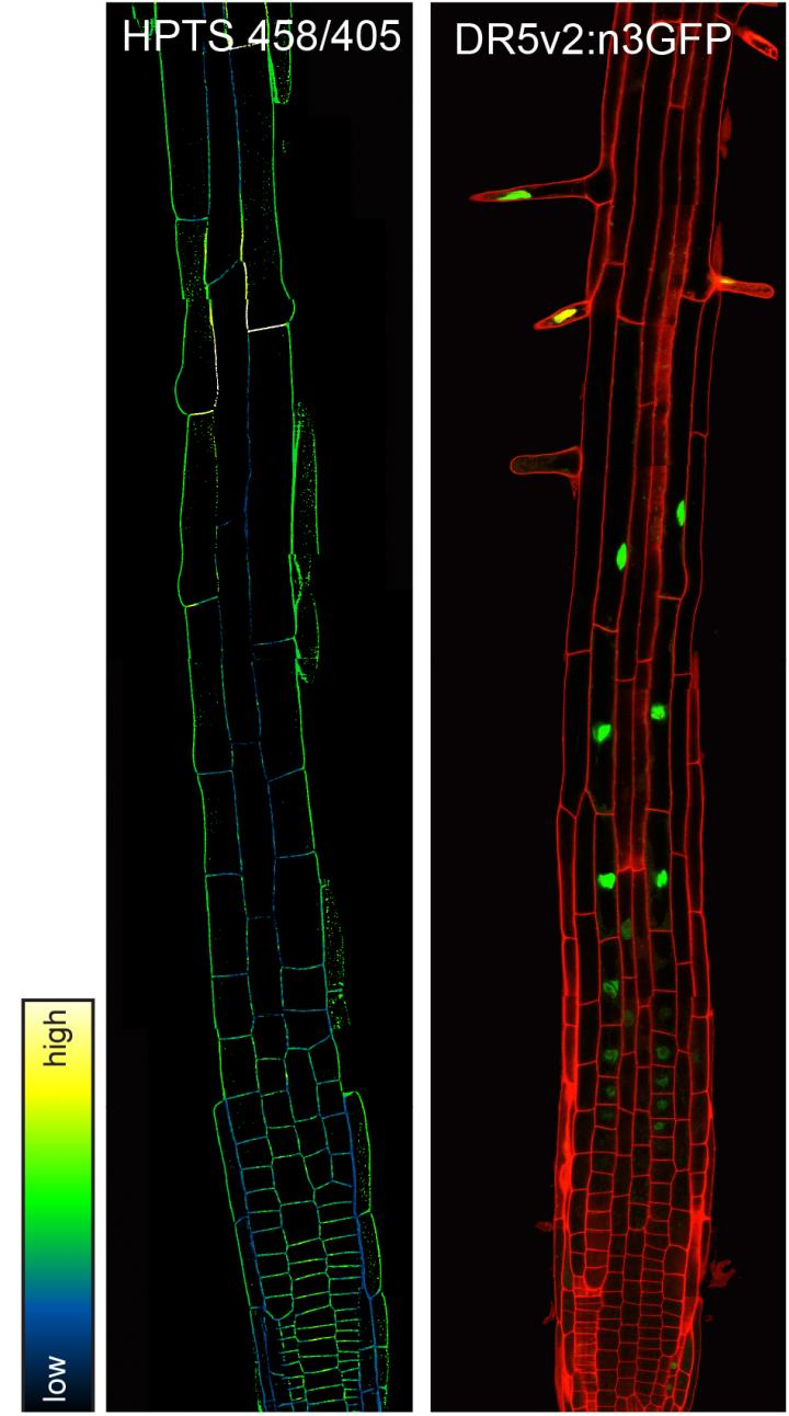 Researchers Discover Chemical Dye that Reveals How a Critical Plant Hormone Helps Root Growth