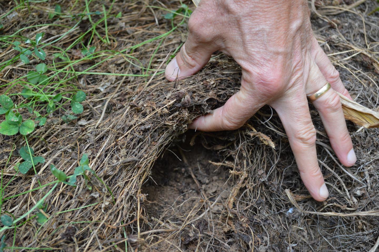 Thatch in Living Mulch