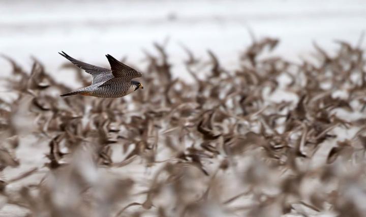 Peregrine Falcon Hunting a Flock of Migratory Shorebirds