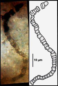 <I>Primaevifilum amoenum</I>
