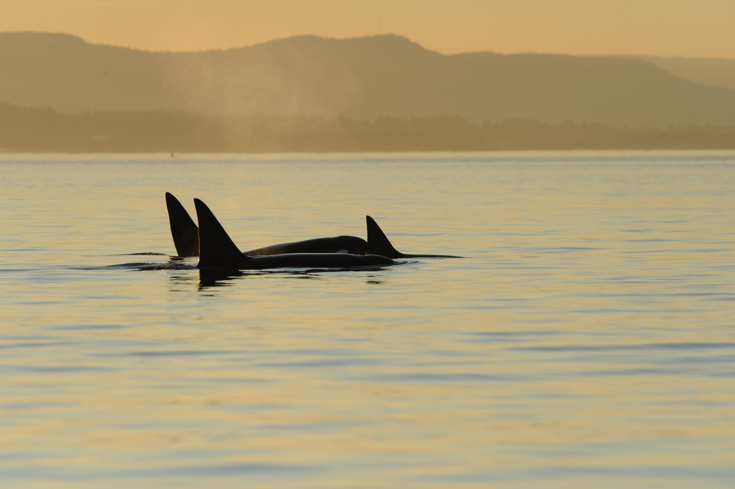 A group of Bigg's killer whales