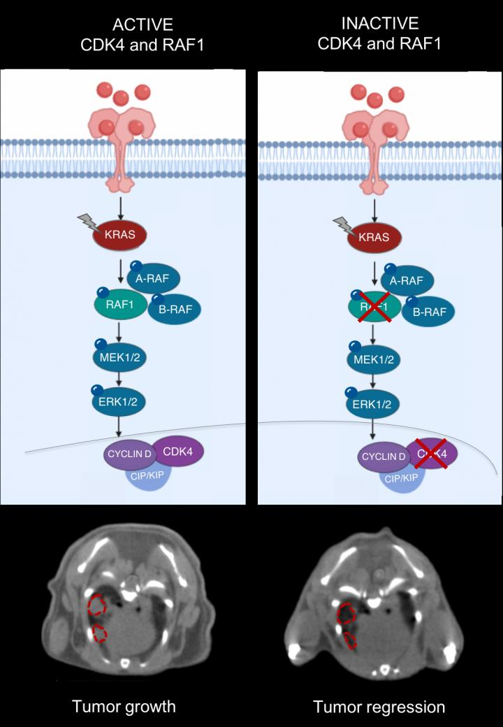 CDK4 and RAF1 inactivation, CNIO