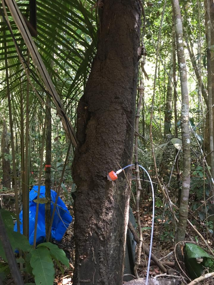 Termites as a possible emission source of alpha-pinene